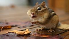 Cute Chipmunk 24731