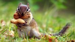 Cute Chipmunk Wallpaper 24729