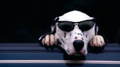 Cute Dalmatian Wallpaper 33068