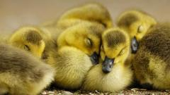 Cute Duckling Wallpaper 35829