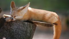 Cute Fennec Fox Wallpaper 35932