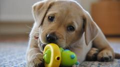 Cute Labrador 23490