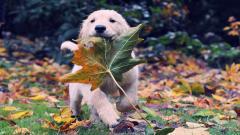Cute Labrador Pictures 23503