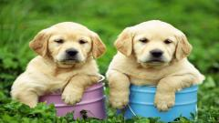 Cute Labrador Puppies 23496