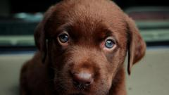 Cute Labrador Wallpaper 23485