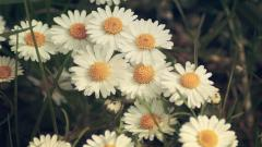 Daisy Bokeh Wallpaper 39251