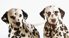 Dalmatian Wallpaper 33055
