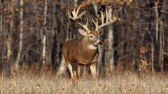 Deer Close Up Background 39662