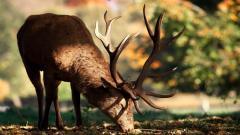 Deer Close Up Wallpaper 39663