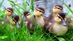 Duck Wallpaper 13929