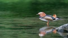 Duck Wallpaper 13941