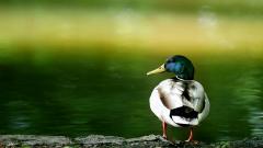 Duck Wallpaper 13942