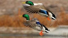 Duck Wallpaper 13945