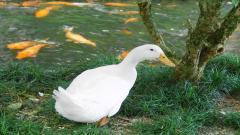 Duck Wallpaper 13947