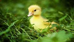 Duckling Wallpaper 35828