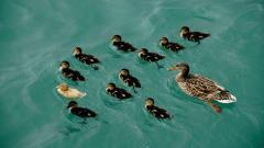 Duckling Wallpaper 35833