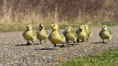 Ducklings 35834