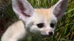 Fennec Fox 35929