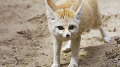 Fennec Fox 35930