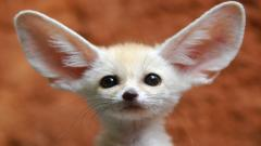Fennec Fox Wallpaper 35928