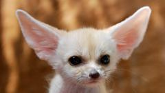 Fennec Fox Wallpaper 35934
