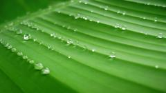 Free Banana Leaf Wallpaper 29601