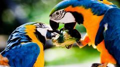 Free Macaw Wallpaper 35868