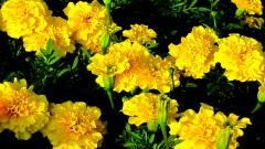 Free Marigold Wallpaper 29882