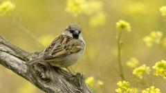 Free Sparrow Wallpaper 38990