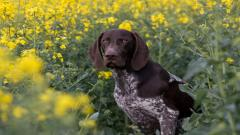 German Shorthaired Pointer 32185