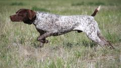 German Shorthaired Pointer Pictures 32186
