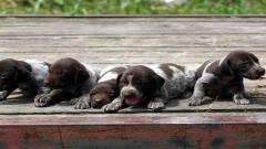 German Shorthaired Pointer Puppies 32183