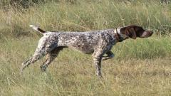 German Shorthaired Pointer Wallpaper 32184