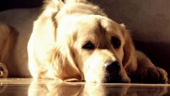 Golden Labrador 23488