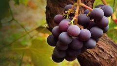 Grapes 20453