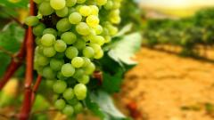 Grapes Wallpaper 20449