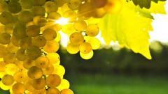 Grapes Wallpaper 20454