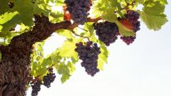 Grapes Wallpaper 20456