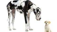 Great Dane Wallpaper 24872