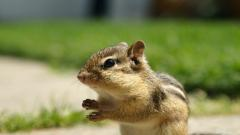 HD Chipmunk Wallpaper 24728