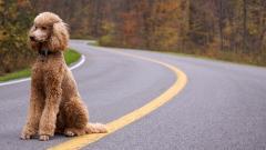 HD Poodle Wallpaper 23871