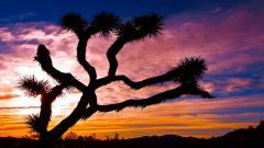 Joshua Tree 32950
