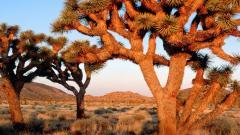 Joshua Tree 32953