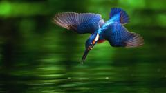 Kingfisher Wallpaper 38969