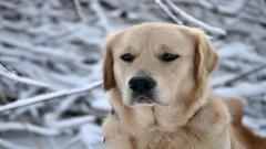 Labrador Pictures 23508