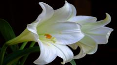 Lily Flower 12502
