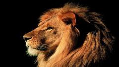 Lions Wallpaper 5298