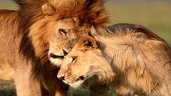 Lions Wallpaper 5303