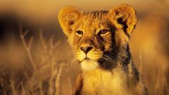 Lions Wallpaper 5312