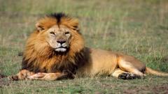 Lions Wallpaper 5313